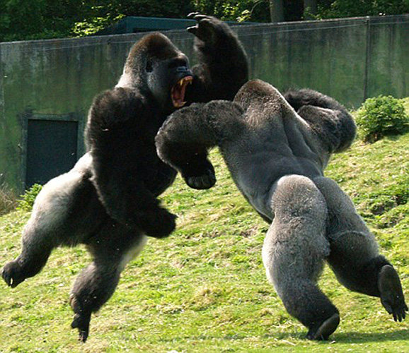 animals-fighting-4