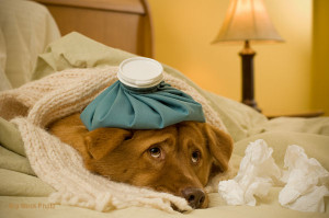 Sick as a dog concept - Dog in bed with scarf and water bottle on its head.